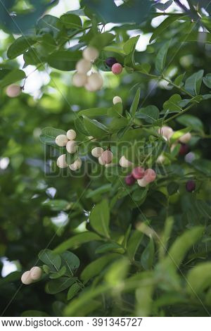 Cluster Of Bengal Currants Or Christ's Thorn, Sweet And Sour Tropical Fruit On Tree. Bengal Currant,