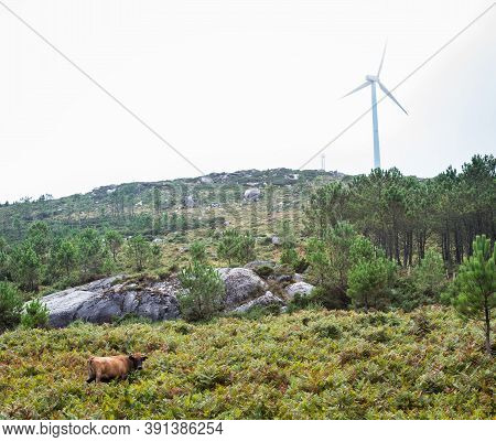 A Lonely Brown Cow Eats Grass In Galicia On A Foggy Day, With A Big Wind Turbine In The Background.