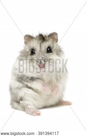 Cute Funny Syrian Hamster Isolated On White. Syrian Hamster Isolated On White Background