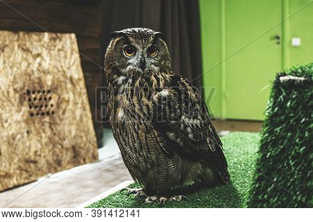 The Eagle Owl Bubo Bubo Sits Indoors