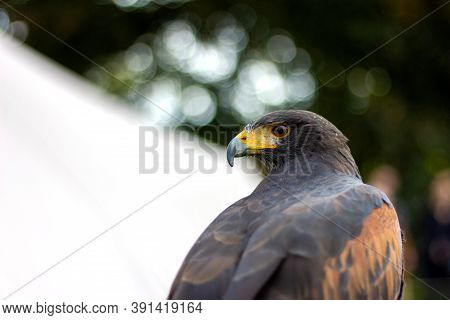 A Closeup Portrait Of A Harris's Hawk Looking Backward. The Bird, Also Called A Desert Hawk Or Bay-w