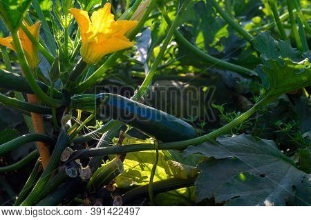 Farmers Field With Growing Organic Green Zucchini Courgette Vegetables In Lazio, Italy