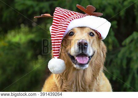Happy Golden Retriever Dog, Labrador Wearing A Santa Claus Hat For Merry Christmas.