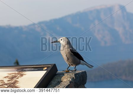Crater Lake National Park,  Oregon / Usa - September 8, 2014:  A Clark's Nut Cracker Bird Lands On A