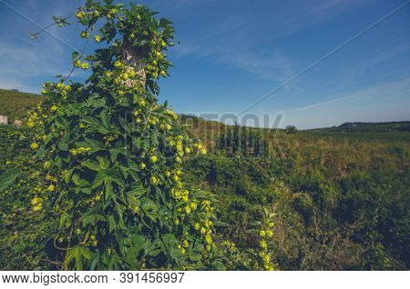 Common Hop Or Hops Species Of Flowering Plant In The Hemp Family Cannabaceae. Humulus Lupulus Planta