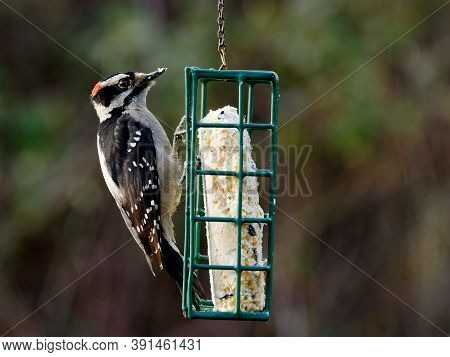 Downy Woodpecker (dryobates Pubescens) On The Feeder With Suet