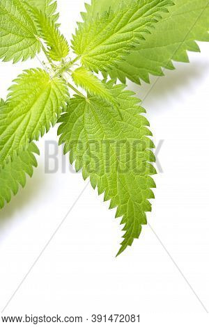 Green Fresh Stinging Nettle Leaves Isolated On White Background. Copy Space. Can Use As Banner