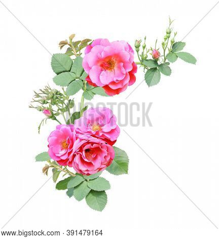 Angle border with branch of rose with pink flowers. Angle frame with branches of Climbing Rose. Isolated on white background