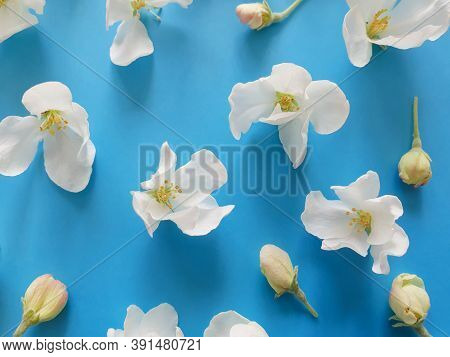 Top View On Delicate White Flowers Of Fruit Tree / Cherry On A Saturated Blue Background. Greeting C