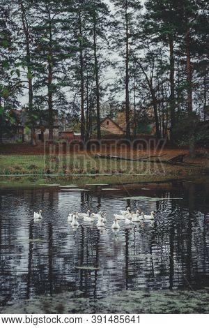 Autumn Landscape: White Waterfowl On The Lake Surrounded By Pine Forest.