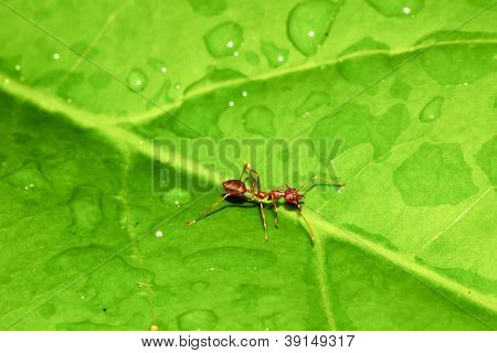 Ant On Green Leaf.