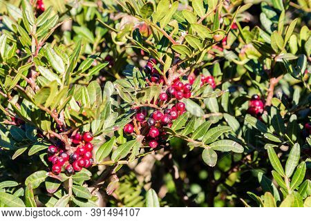 Red Berries Of A Mastic Tree In Sardinia, Italy
