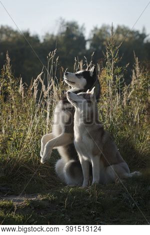 Obedient Couple Of Fleecy Siberian Husky Breed Dogs Awaiting Orders By Tall Summer Grass Outdoors