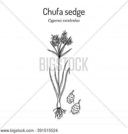 Chufa Sedge Cyperus Esculentus , Edible And Medicinal Plant. Hand Drawn Botanical Vector Illustratio