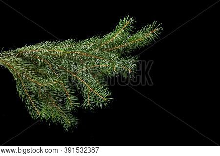 Green Fir Branch Isolated On Black Background, Christmas Fir.