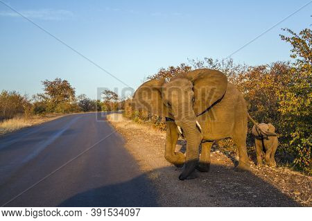 African Bush Elephant Crossing Safari Road Protecting A Baby In Kruger National Park, South Africa ;