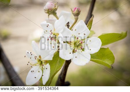 Blooming Apple Tree In Spring. Close Up. Selective Focus