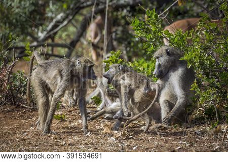Chacma Baboon Family Fight In Kruger National Park, South Africa ; Specie Papio Ursinus Family Of Ce