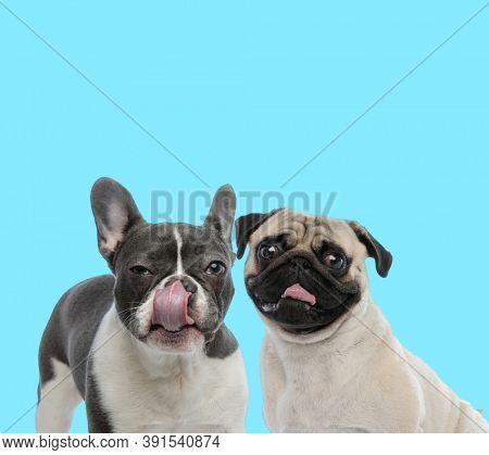 Suspicious French bulldog licking its nose and clumsy Pug looking forward on blue background