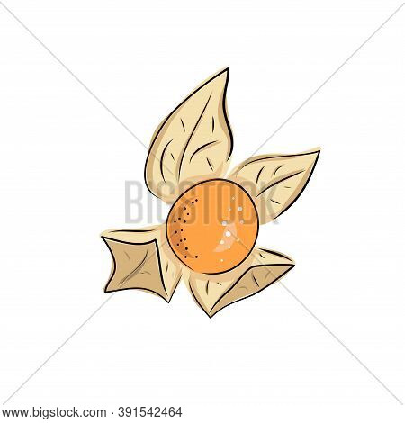Superfoods. Vector Illustration Physalis, Berries. Hand Drawing Flowers, Leaves, Small Tomato, Lante