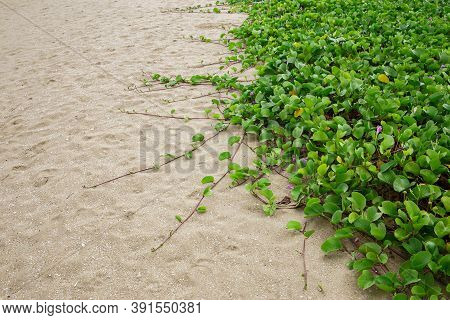 Beach Morning Glory, Ivy That Grows On The Beach