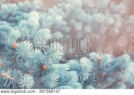 Winter Christmas background. Blue winter pine tree branches under winter snowfall, closeup of winter nature, free space for Christmas text, vintage tones. Winter Christmas card