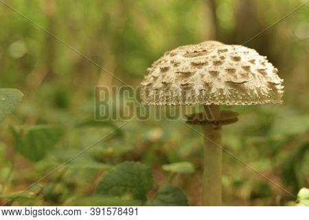 Scaly Light Mushroom With A Collar On The Leg Grows.