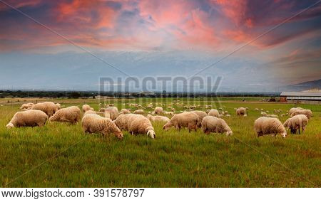 Many sheeps grazing in the meadow during the sunset