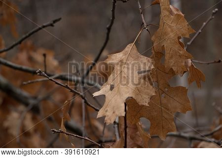 Dried Oak Leaves During The Winter Months