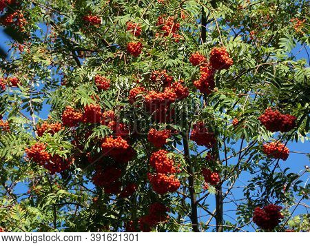 Many Red Rowan Bunches On The Tree