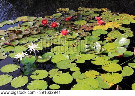 Colorful Lotuses And Leaves On The Water Surface