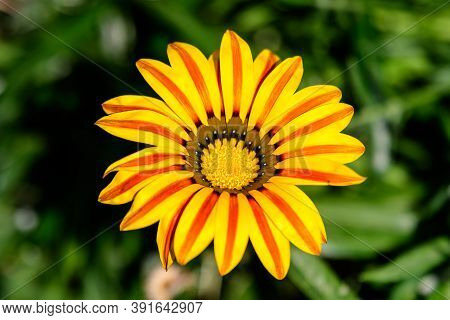 Top View Of One Vivid Yellow And Orange Gazania Flower And Blurred Green Leaves, In A Garden In A Su