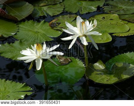 Two White Lotuses On The Water Surface And Two Frogs On Lives