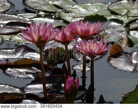 Purple Lotuses And Leaves On The Water Surface