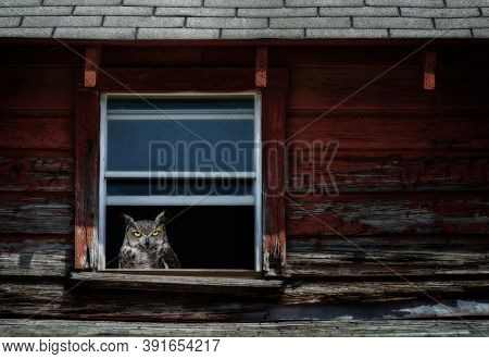 Great Horned Owl (bubo Virginianus) Peeking Out From A Window Of A Weathered Red Barn In The Dark.