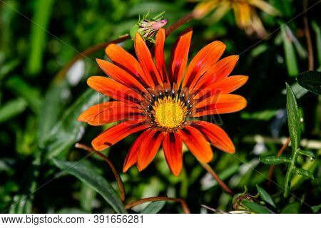 Top View Of One Vivid Red Gazania Flower And Blurred Green Leaves In Soft Focus, In A Garden In A Su