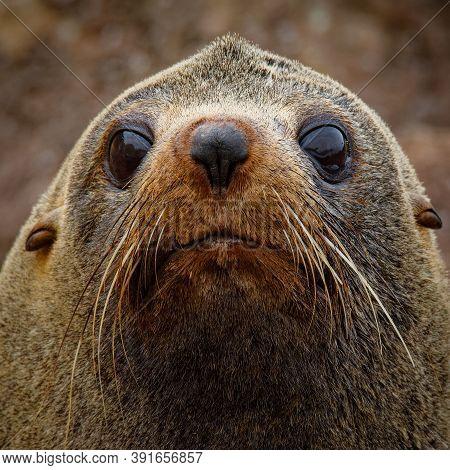 New Zealand Fur Seal - Arctocephalus Forsteri - Kekeno Lying On The Rocky Beach In The Bay In New Ze