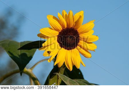 The Blossom Of A Sunflower On A Sunny Day With A Flying Honey Bee