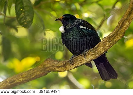 Prosthemadera Novaeseelandiae - Tui Endemic New Zealand Forest Bird Sitting On The Branch In The For