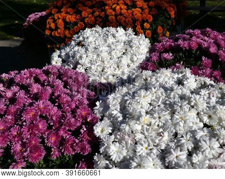 Many Colorful Chrysanthemum Flowers As A Natural Background