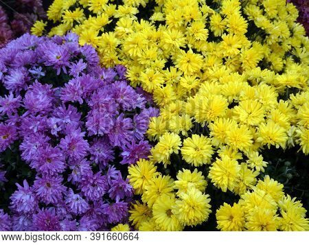 Many Colorful Chrysanthemums As A Floral Background