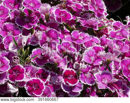 Many Carnation Flowers As A Natural Background
