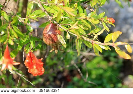Flowers And Fruit Of Pomegranate On The Branch