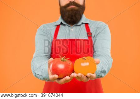 Organic Crops. Tomato Diet. Chef Cook With Tomato Vegetables. Bearded Man Cook Hold Tomato In Hands.