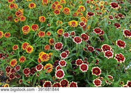 A Mixed Red, White And Yellow 'jazzy Group' Zinnia Flower