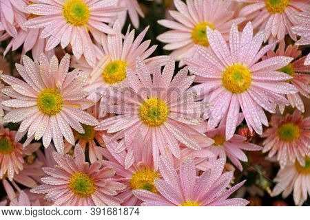 Beautiful Pink And Yellow Chrysanthemum 'hillside Sheffield' Flowers With Raindrops