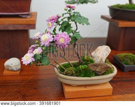 A Light Purple Chrysanthemum Bonsai Tree Inside Of A Ceramic Pot
