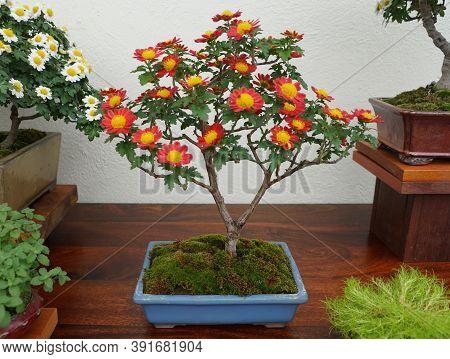 Red And Yellow Chrysanthemum Bonsai Tree Inside Of A Ceramic Pot