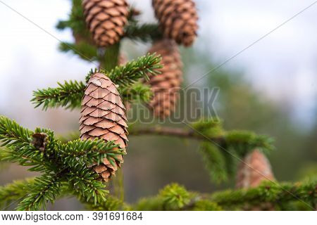 Pinecone On A Spruce Close-up On A Natural Green Background. Christmas Tree, Evergreen Coniferous, P