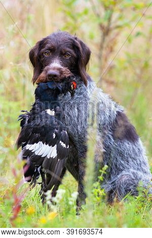 German Wirehaired Pointer Holds A Shot Wildfowl (black Grouse Cock) In Its Teeth During Wildfowling